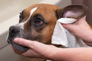 dont wash face and ears of dog
