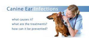 ear infection in dogs and how to cure it
