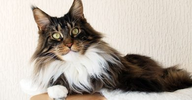 BVCau-Feline-Breeds