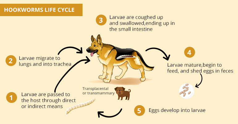 Hookworms in Pets - Symptoms,Treatment and Life-cycle