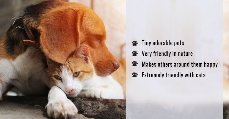 cat-friendly Beagle