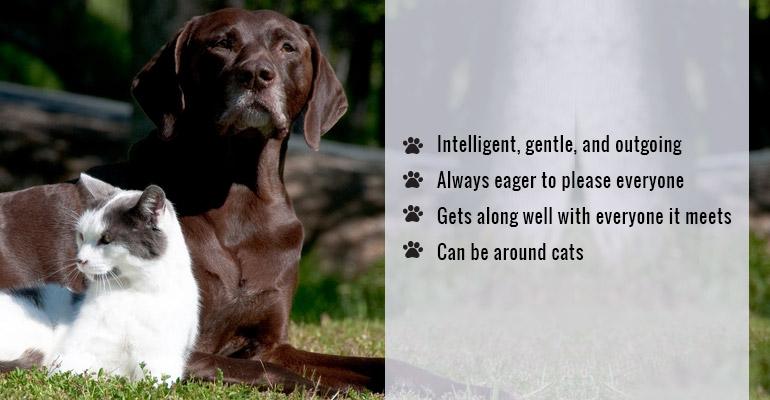 cat-friendly Labrador